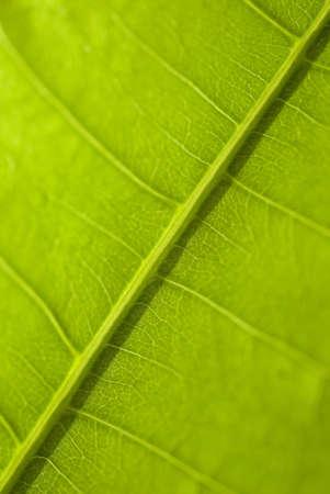 green  leaf macro, botanical background Stock Photo