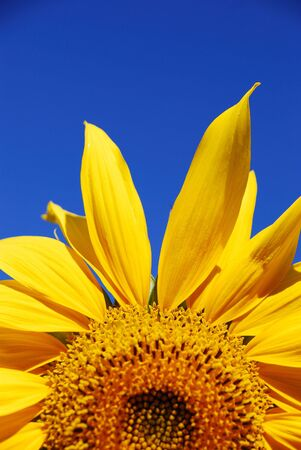 beautiful sunflower plants on a clear sky photo