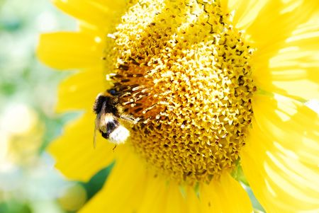 bee on a beautiful sunflower plants photo