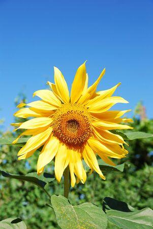 beautiful sunflower plants on a clear sky photo