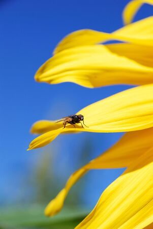 a fly on a beautiful sunflower plants on a clear sky photo