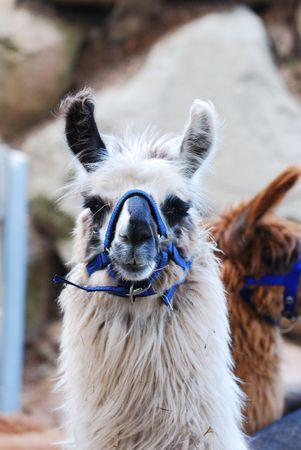 the lama: Lama Alpaca on a mountain farm Stock Photo