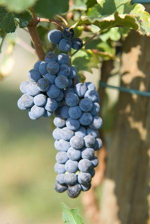 globose fruits: Autumn, grapes and leaves
