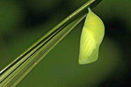 A deep green pupa of a papilionidae specie in Cat Tiens tropical forest photo
