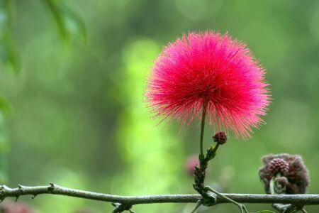 stamin: beautiful red mimosa flower, pompom shape.  Cameron higlands, Malaysia