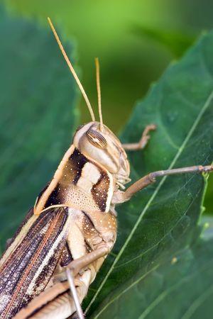 con dao: tropical cricket, unknow specie, con dao island, vietnam