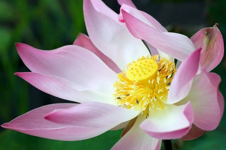 close up of a wild lotus flower in a swampland, con dao island aka