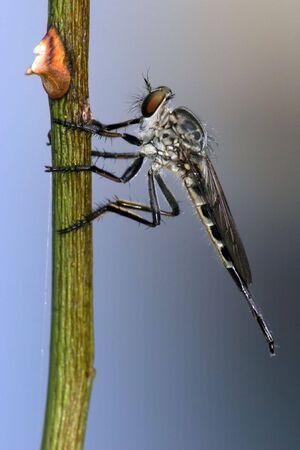 asilidae: tropical predator fly, cat tien national park, vietnam