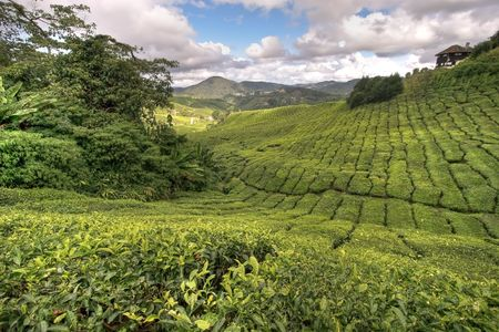 tea plantation: famous landscape of the tea plantations, Cameron Highlands, Malaysia.
