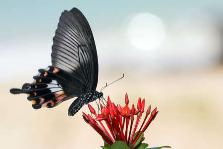 beach butterfly: papilio helenus species gathering nectar on red flowers, ko bulon island coastline,Thailand Stock Photo