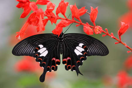 papilio: papilio helenus species hanging on a red sage flower, cameron higlands, Malaysia
