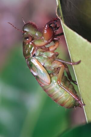 periodical: night shoot of a cicada larva climbed on a leaf, just before metamorphosis into an adult insect.17 year old