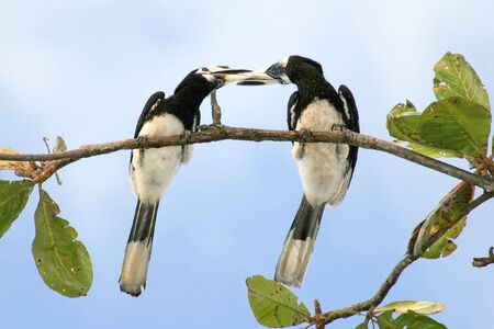 ficus: oriental pied hornbill (Anthracoceros albirostris) couple in kiss trainning on a ficus tree Stock Photo