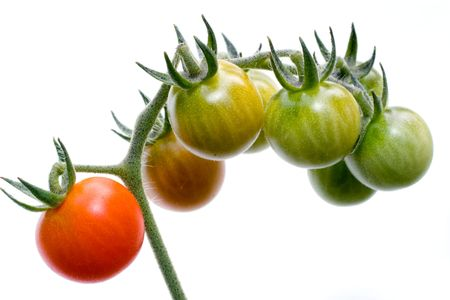 isolated cherry tomato cluster, from unripe to ripe photo