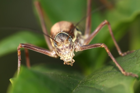 menacing: Ephippiger terrestris species front closeup menacing camera Stock Photo