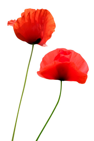 two red poppies isolated on white backgrounds