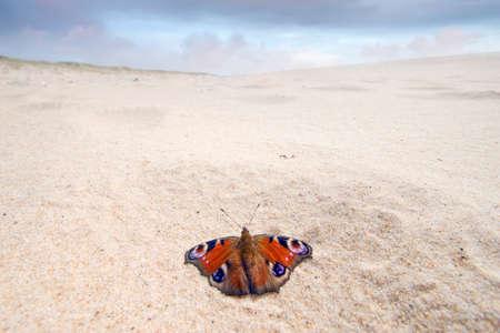 nymphalis: Nymphalis io species on atlantic wild beach