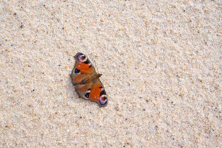 nymphalis: beautiful Nymphalis io species on sand, atlantic coast Stock Photo
