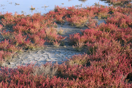 marsh plant: red autumnal salicornia in salt marsh, Camargue, south France