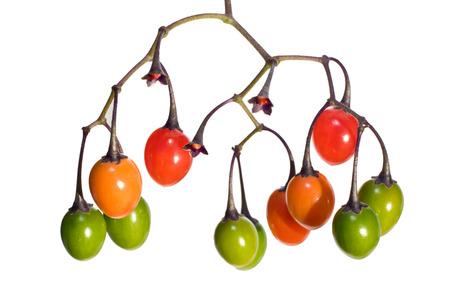 poisonous: poisonous Solanum dulcamara fruits, like little tomatoes, shooted on white Stock Photo