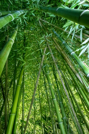 wide angle inside bamboo forest Stock Photo