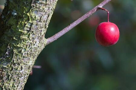 prune: bright and succulent suspended prune