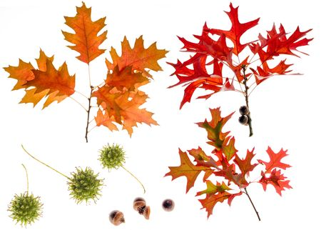 high resolution three oak branches with acorn and liquidambar seeds photo