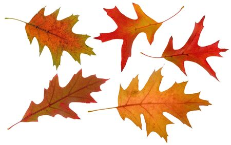 five high resolution oak autumn leaves isolated on white Stock Photo - 2052949