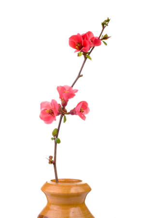 red and fresh fruit-tree flower in wooden vase isolated on white Stock Photo - 2533748