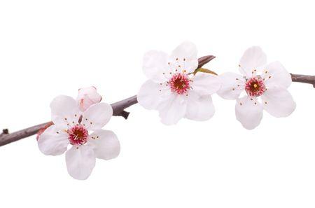 pink fruit-tree flowers isolated on white Stock Photo - 2533746