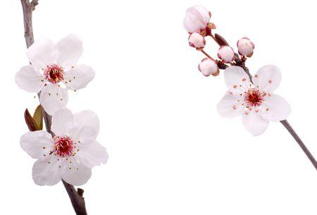 fresh plum tree flowers isolated on white background Stock Photo - 2533747