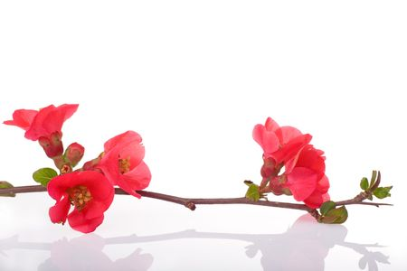fruit-tree branch with spring red flowers Stock Photo - 2564644