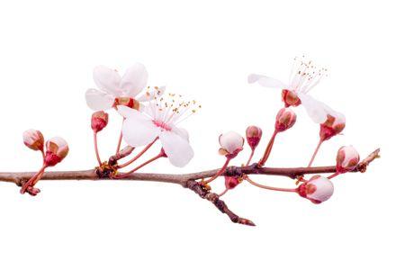 ciruela: flor del resorte del ciruelo-arbol aislada en blanco