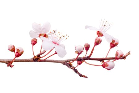 plum blossom: plum-tree spring blossom isolated on white Stock Photo