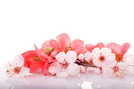 fruit-tree flowers on white background with reflections Stock Photo - 2564646