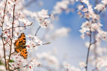 Nymphalis polychloros butterfly on plum tree flowers at springtime Stock Photo - 2680614