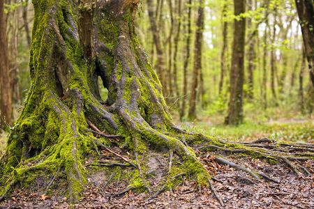 moss-covered oak tree trunk and roots in temperate wet forest Stock Photo