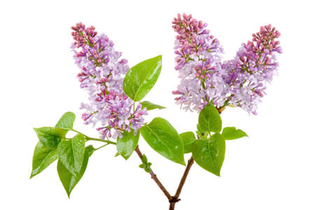 fresh spring lilac blossom with dewdrop isolated on white photo