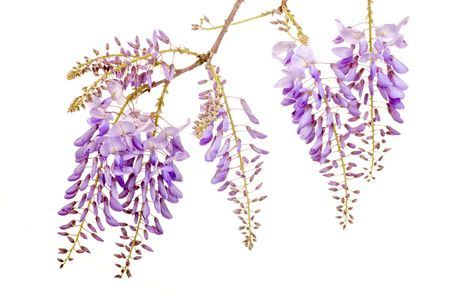 fresh purple wisteria flowers isolated on white background photo