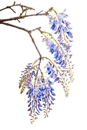 beautiful blue wisteria flowers isolated on white background photo