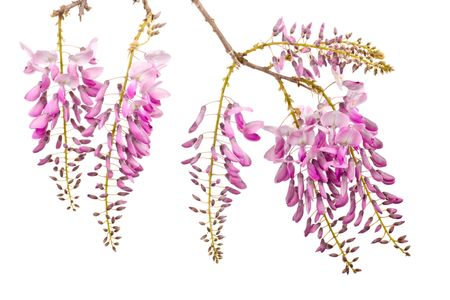 pink wisteria flowers bench isolated on white background Stock Photo