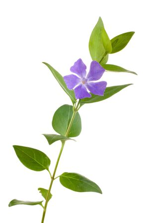 wild periwinkle stem with single flower on white Stock Photo - 2848075