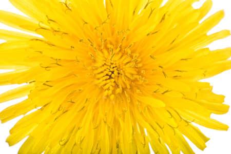 stamin: bright dandilion flower macro on white background