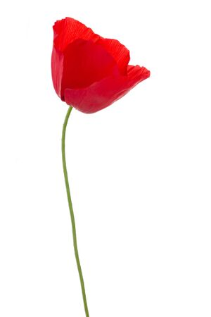 red poppy flower isolated on white background Stock Photo - 3161889
