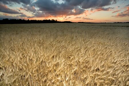 wheat flied at dusk with sunset and cloudscape