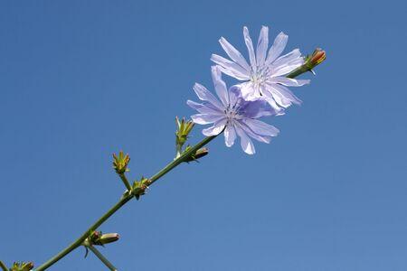 chicory flower: wild chicory flower under summer blue sky Stock Photo