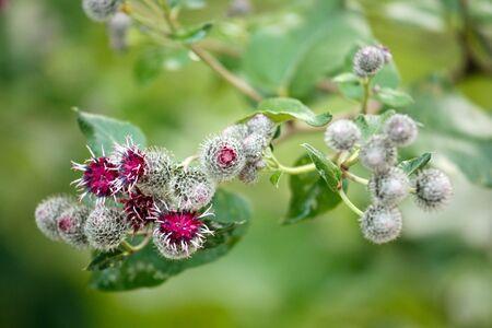 minus: flowers of medicine plant arctium minus