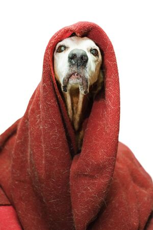 stupid: crazy old dog in a dirty blanket taking himself for an emperor Stock Photo