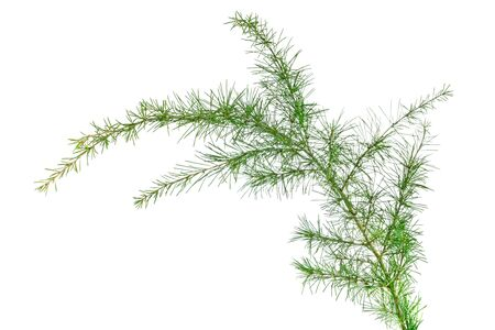 cedar branch isolated on white background Stock Photo