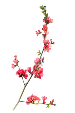 quince: branch of japanese quince blossom at springtime